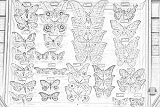 Colouring Page - Moths