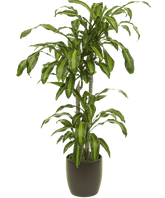 houseplant-dracaena-removebg-preview.png