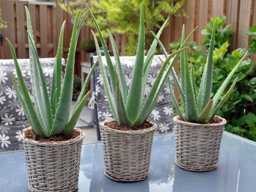 Aloe-vera-medicinal-plant.jpg