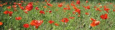 poppy-headerFrance6nhalfinch.jpg