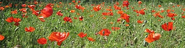 poppy-headerFrance6nhalfinch.jpg