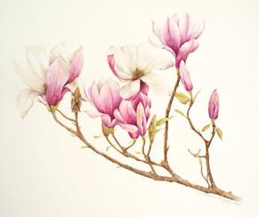 Magnolia. Magnolia soulangiana