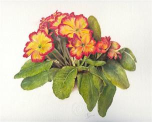 Polyanthus.  P. vulgaris