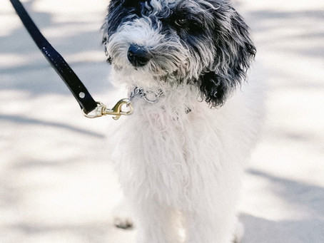 Expert Puppy Leash Training Tips from Designer Breeders