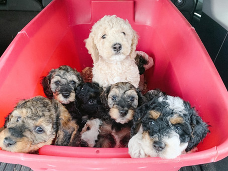 How Do You Find a Good Puppy Breeder? Follow These 3 Tips