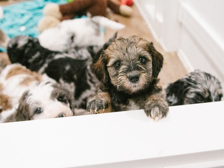 Buying a Puppy from Out of State? What You Should Know