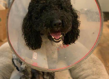 Dog Allergies: Identifying Symptoms & Treating Allergic Reactions