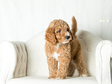Mini Goldendoodles vs. Medium Goldendoodles vs. Standard Goldendoodles