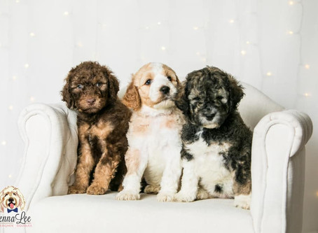 Doodle Breeds Size & Weight Chart: Standard, Medium and Minis