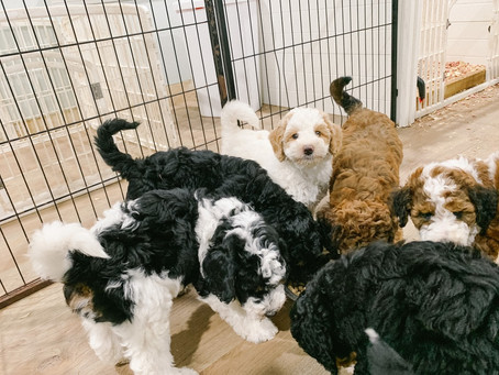 Bernedoodle Personality & Temperaments - Here's What They're Like