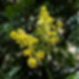 koelreuteria_paniculata-1_577x600.jpg