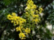 koelreuteria_paniculata-medonosnobilje_577x600.jpg