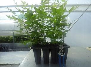 evodija-sadnice600x450.jpg
