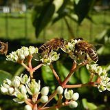 Tetradium-daniellii-bees-zoom.jpg