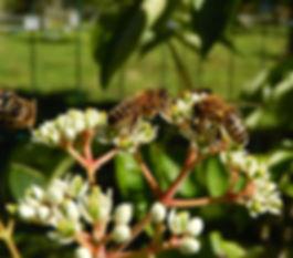 pčela na cvijetu evodije