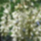 sofora cvijet.jpg