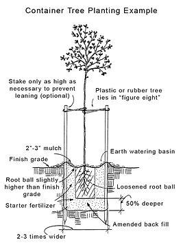 sadnja evodije