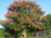 koelreuteria-OPGGlumpak_600x450.jpg