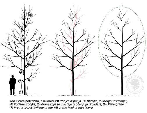 održavanje stabla