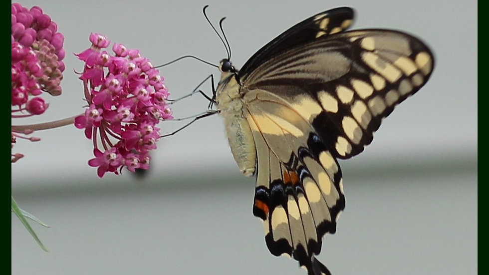 Giant Swallowtail picture