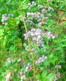 17-blueberriesFull01.png