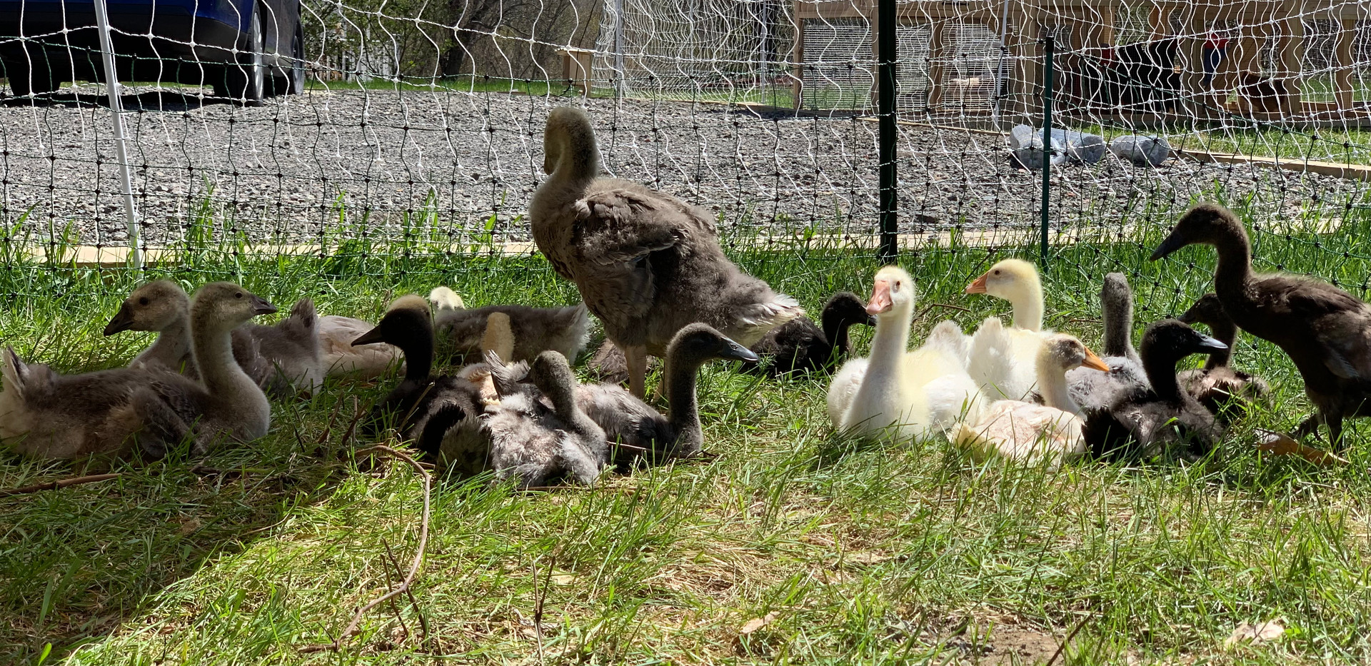 BABY WATERFOWL NAPTIME