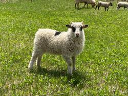 Hjoker, our biggest 2020 lamb