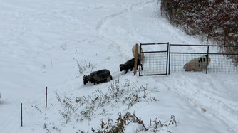 Pigs & sheep in snow