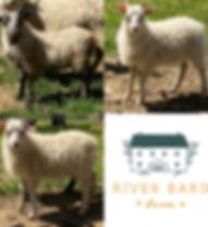 Lamb_starter_flock_2020.jpg