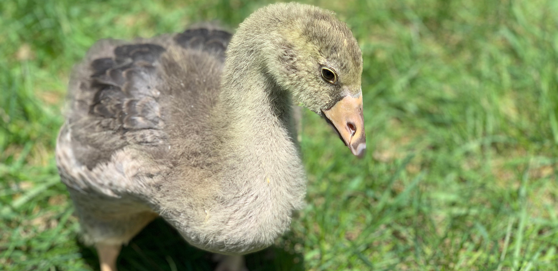TOULOUSE GOSLING