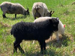 B&W twin lambs