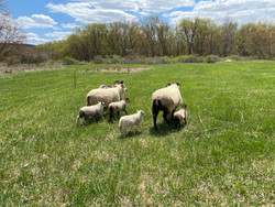 Lambs' first time in the field