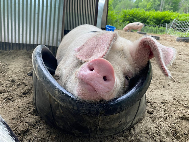 Iona's Pig in Tub.jpg