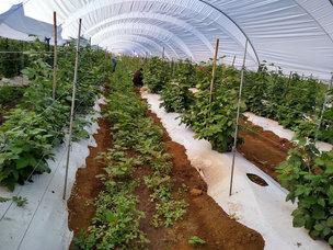 Cultivos de fresa