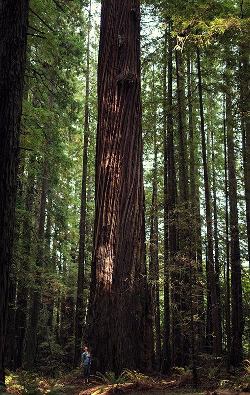 Giant_Tree.jpg