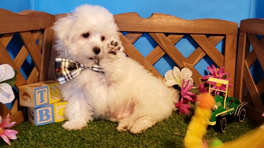 Puppy For Sale Missouri Toybox Puppies