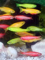 675px-GloFish.jpg
