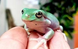white's tree frog.jpg