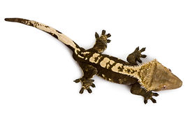 crested-gecko-for-sale.jpg