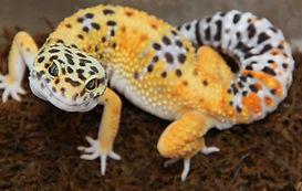 Exotic-pet-reptile-leopard-gecko-.jpg