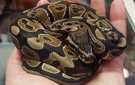 ball python2.jpg