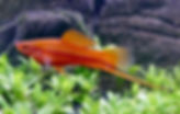 Xiphophorus_hellerii_red_male_01.jpg