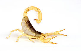 desert-hairy-scorpion-for-sale.jpg