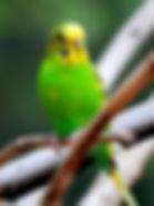 Melopsittacus_undulatus_-Atlanta_Zoo,_Ge