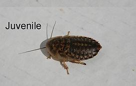 800px-Blaptica-Dubia-cockroaches-x3-male