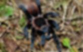 mexican-red-rump-tarantula-for-sale.jpg