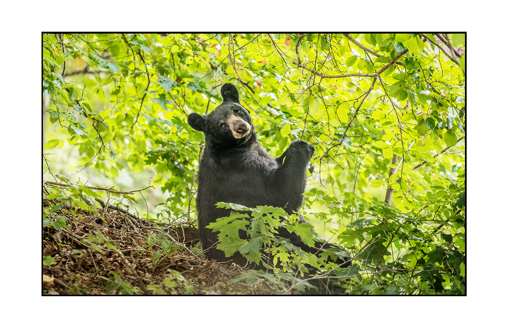 Black Bear Snacking