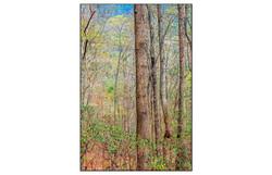 AppalachianForest52
