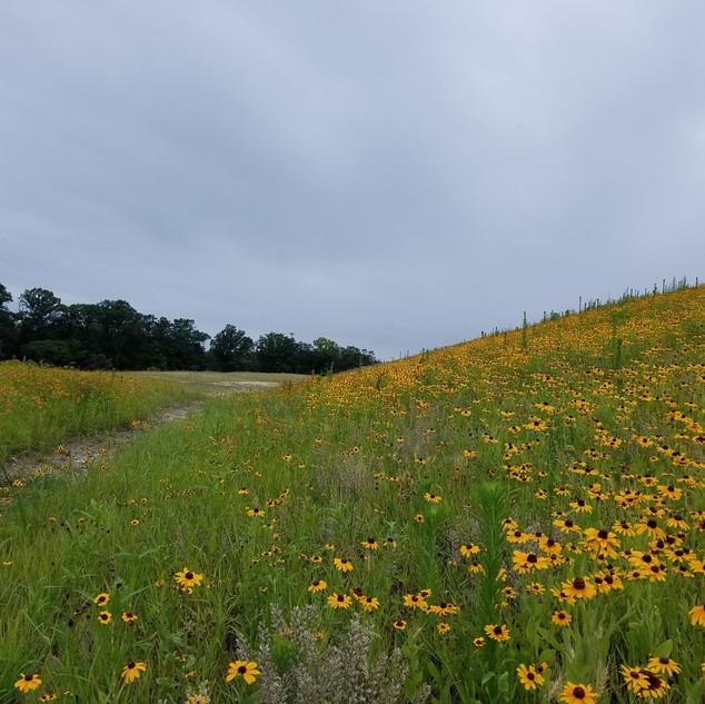 Phase III Meadow Grass