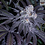 Thumbnail: FATCAT LABS - CHERRY CADBURY / PRINCESS PEACH FREEBIES